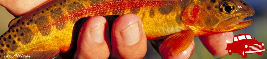 golden-trout